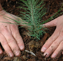 A sapling being planted
